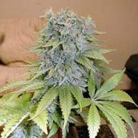 Medicine Man Regular Seeds