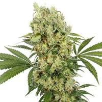 Medikit CBD Feminised Seeds