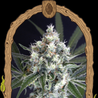 Medxotic Pure CBD Feminised Seeds