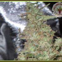 Melon Kali Feminised Seeds