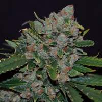 M.O.B. Feminised Seeds