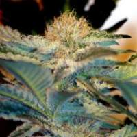 Mohan Ram Auto Feminised Seeds