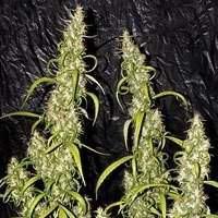 Neville's Haze Regular Seeds