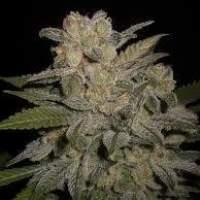 NL #5 x Big Bud #1 AUTO Feminised Seeds