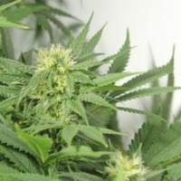Nordle (Afghan Skunk) Regular Seeds
