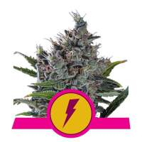 North Thunderfuck Feminised Seeds