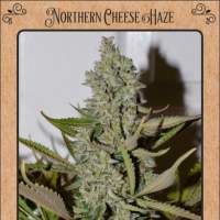 Northern Cheese Haze Auto Feminised Seeds