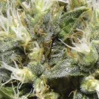 Northern Feminised Seeds