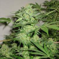 Northern Light Special REGULAR Seeds