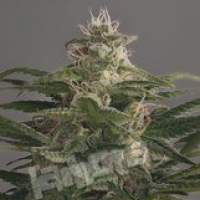 OG Kush CBD Feminised Seeds