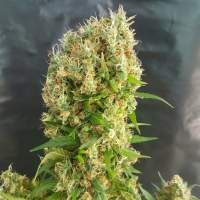 Orange Amnesia Feminised Seeds