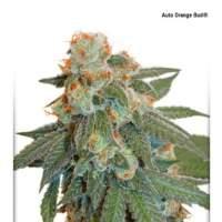 Orange  Bud  Auto  Feminised  Cannabis  Seeds  Dutch  Passion 0