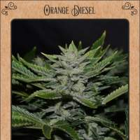 Orange Diesel Auto Feminised Seeds