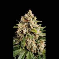 Orka Feminised Seeds