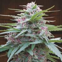 Panama Feminised Seeds