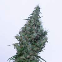 Papaya Feminised Seeds