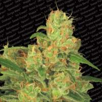 Acid Auto Feminised Seeds