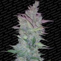Vertigo Autoflowering Feminised Seeds