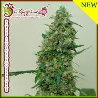 Patel's Cornershop Surprise Feminised Seeds