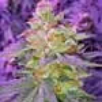 Pina Rita Regular Seeds
