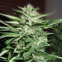 Pineapple Express Feminised Seeds