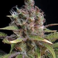 Power Africa Feminised Seeds
