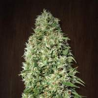 Orient Express Regular Seeds