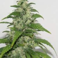 Yummy Feminised Seeds