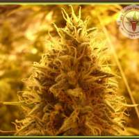 Puff Puff Pass Out Feminised Seeds