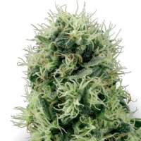 Pure Power Plant Feminised Seeds
