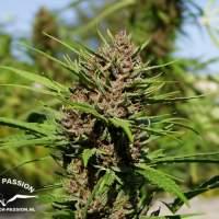 Purple #1 Regular Seeds