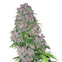 Purple Bud Feminised Seeds