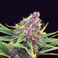 Purple Kush Feminised Seeds