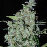 Purple Mexican Feminised Seeds