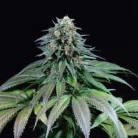 Purple Moby Dick Feminised Seeds