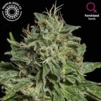 Purple Nurple Feminised Seeds (Limited Edition)