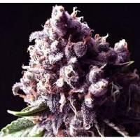 Purple Pinecone Feminised Seeds