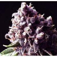 Purple Pinecone Feminised Seeds