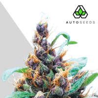 Purple Stilton Auto Feminised Seeds