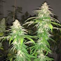 Purple Strawberry Sherbet Feminised Seeds