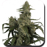 Quasar Auto Feminised Seeds