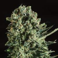 Queen Mother x SCBDX Feminised Seeds