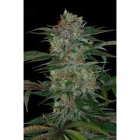 Qush Regular Seeds
