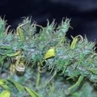 Nanda Devi Regular Seeds