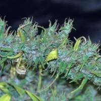 Nanda Devi Regular Seeds