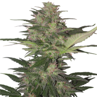 Red Dwarf Auto Regular Seeds