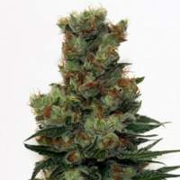 Ripper Badazz Feminised Seeds