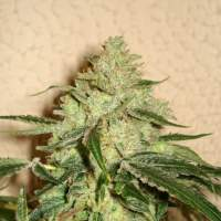 RoadDawg Feminised Seeds