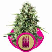 Royal AK Feminised Seeds