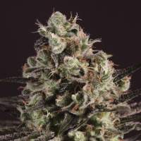 Royal Purple Kush x SCBDX Feminised Seeds